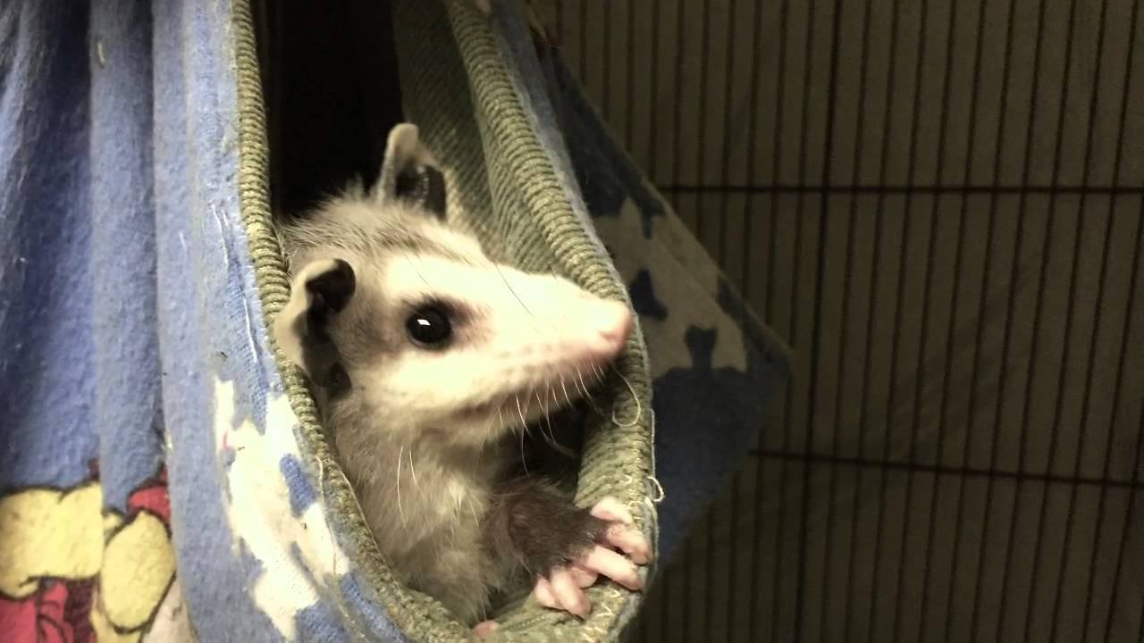 They might not be pretty, but Opossums are rare and