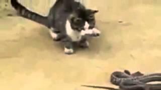 Кошка против змеи! Смешное видео прикол!