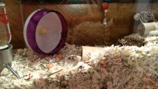 Gerbils New 20 Gallon Tank Tour!