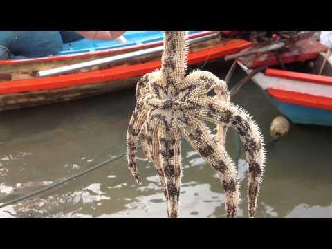 ปลาดาวอะไรตัวใหญ่จัง  Chanthima Resort KohTalu Thailand จันทิมา รีสอร์ท บางเบิด