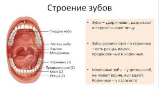 17. Пищеварительная система тракт (8 класс) биология, подготовка к ЕГЭ и ОГЭ