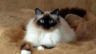 Священная бирманская кошка (священная бирма)