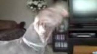 Dog Goes Crazy (weimaraner) Does Not Like The Cell Phone