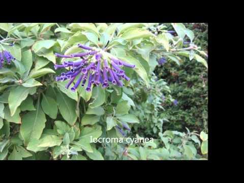 Arbustos ornamentales de los jardines de valencia y t for Arbustos para jardin