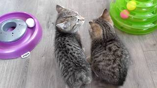 Bobtail kittens reunited after being rescued from colony