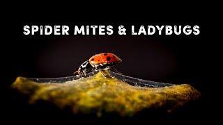 Spider mites & ladybugs