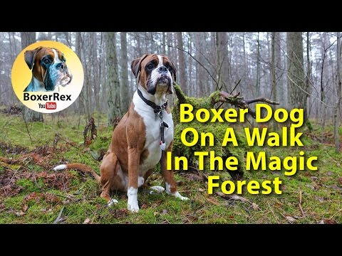 Boxer Dog On A Walk In The Magic Forest ☺️🏕️ Boxer Rex