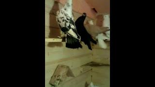 мои андижанские бойные голуби, узбекские бойные голуби(Андижанские голуби., 2017-02-14T22:02:33.000Z)