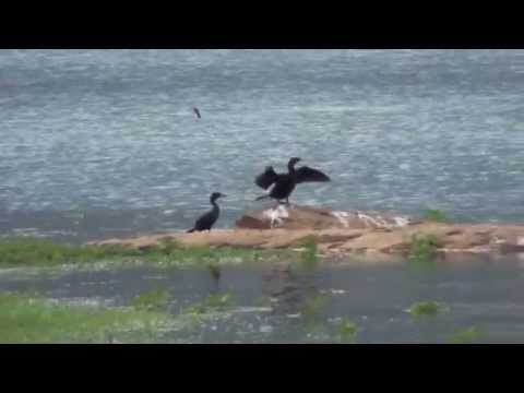 A group of Cormorant and white cranes in Amaravathy Dam