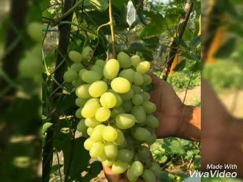 berbagai-macam-buah-anggur,-bibitnya-ada-di-sini-wa-081343344551-gratis-ongkos-kirim