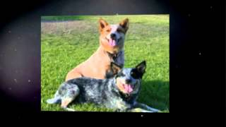 Training An Australian Cattle Dog