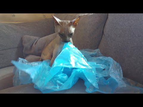 Sphynx Cat hates plastic and wants to destroy it by chewing / DonSphynx /