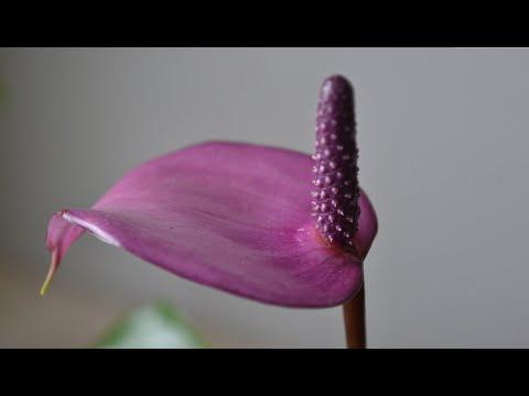 Цветок антуриум 10 сортов. Как цветет мужской цветок антуриум