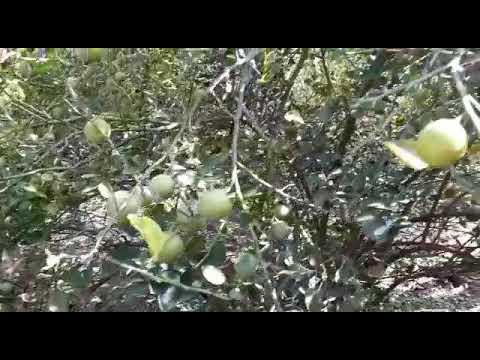 Farm fresh lemons