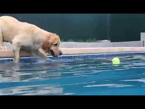 Golden Retriever Bliss Jumps in swimming pool for dog toy tennis ball