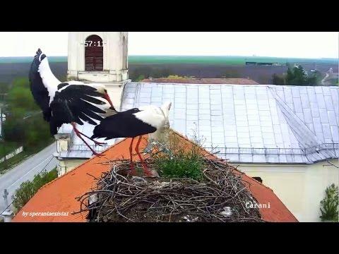 Barza Alba / White Stork Romania, Carani  -  Two Storks. Welcome!/Doua Berze. Bun Venit! 11.04.2017
