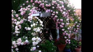 Dưới giàn hoa cũ_Tuấn Khanh, hát bởi Tuấn Ngọc