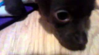 My new puppy chihuahua Heaven!!!! Thumbnail