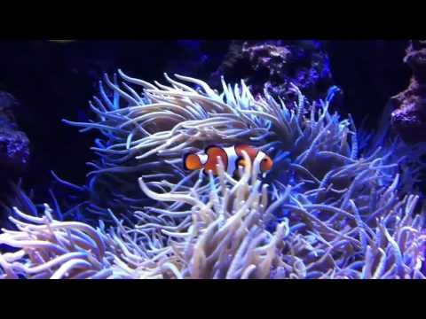 Clown fish and blue tang youtube for Blue clown fish