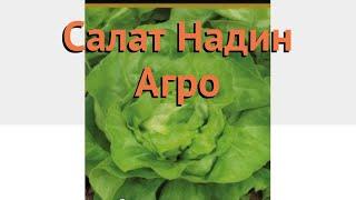Салат обыкновенный Надин Агро Кочанный 🌿 обзор: как сажать, семена салата Надин Агро Кочанный