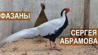 Фазаны в птичьем парке Сергея Абрамова.