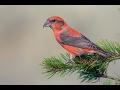 تغريد طائر الهزار  red crossbill singing