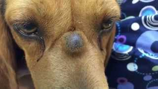 Repeat youtube video PUScam!! Beware!! Graphic!! K9 with sebaceous cyst lanced on bridge of nose in SloMo