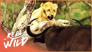 Buffalo Stampede Traps Young Lion Cub (Wildlife Documentary) | A Year In The Wild S1 EP5 | Real Wild
