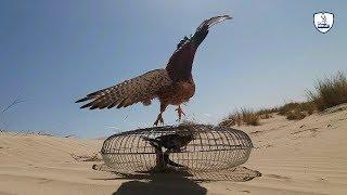 صنع مصيدة صيد الصقور والعقاب /قفص لصيد الصقور(القرشعه)/Trap for falconry