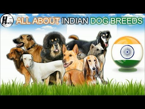 All about INDIAN DOG BREEDS | HINGLISH FACTS