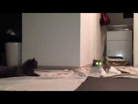 Scottish fold and British Shorthair cats funny cats