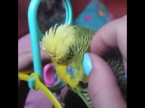 Ручной выставочный волнистый попугай - YouTube