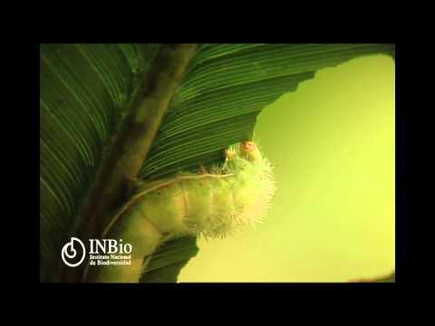 Lepidoptera Saturniidae Periphoba arcaei (Druce, 1886)   Giant Silkmoth