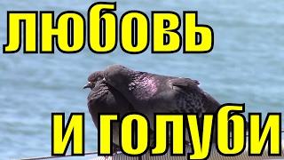 Сизый голубь мира целует доброе видео любовь и голуби Сочи