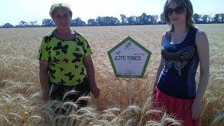 №21 Контроль по применения эко технологии Life Force(Практическое применения Био Технологии в Днепропетровской области на озимой пшенице (элита и супер элита..., 2015-11-09T12:59:45.000Z)