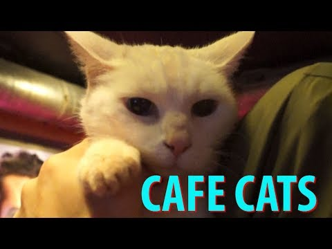 Cafe Cats of Amsterdam - Plus a Cat Cafe & a Cat Boat