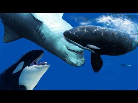 Büyük Beyaz Köpek Balığı vs Katil Balina - Katil Balinalar Neden Sulardaki En Tehlikeli Yırtıcıları