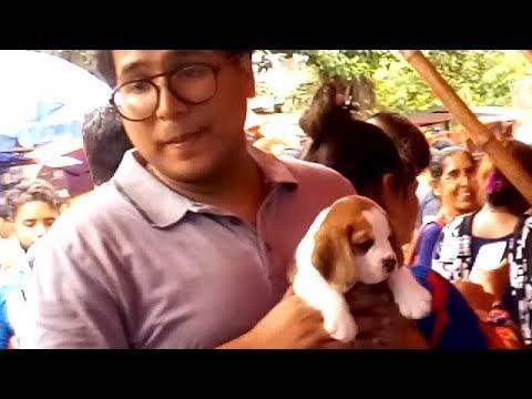 Show Quality Cute Beagle Puppies For Sale At  Galiff Street Kolkata