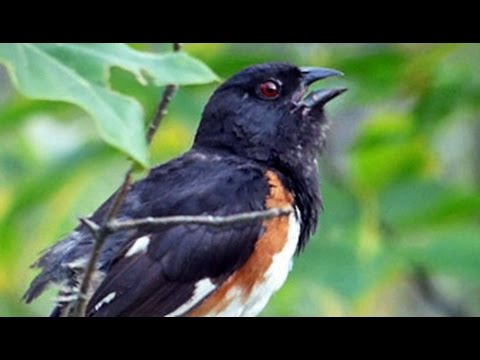 Eastern Towhee at Great Blue Hill - July 12, 2015