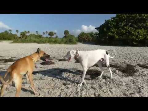 Fort Desoto Dog Beach: Clash of the Titans