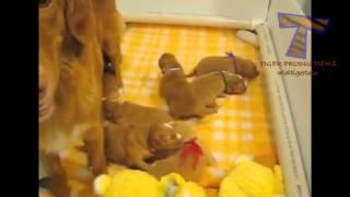 χαριτωμένα κουτάβια γαβγίζουν και να μιλάμε  συλλογή αστείο σκύλο