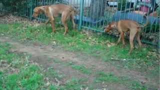 http://redeemingdogs.com Here we see Buddy the Rhodesian Ridgeback ...
