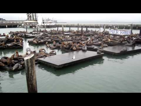 Crazy drunk swede swims WITH SEA LIONS at pier 39, San Francisco