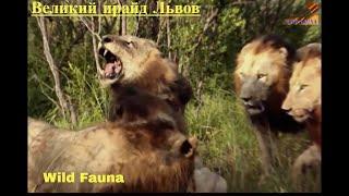 Wild Fauna /Прирождённые Короли /Великий прайд Львов / Mapogo Lions-часть-3