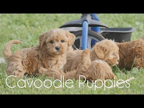 Cavoodle puppies playing with the bike!!