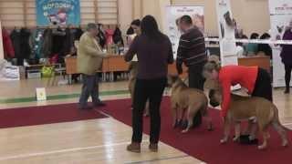 Выставка Саранск Бульмастифы 2 марта 2014