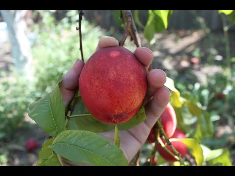 How to pick peaches, plums and nectarines