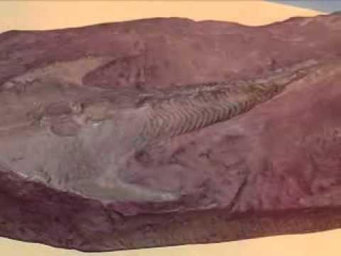 Blastoids- Paleozoic Extinct Echinoderms