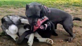 Cane Corso Pins Angry Akita At Dog Park