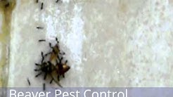 Beaver Pest Control London - Ant Control